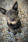 Schnauzer Dog: Joylene