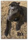 Belgian Shepherd / Malinois Dog: Rex
