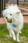 American Eskimo Dog Dog: Jax