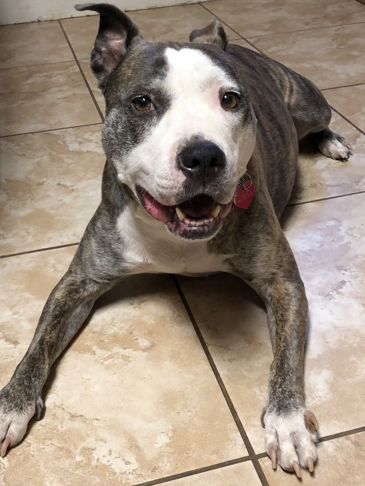 GRACIE, an adoptable American Staffordshire Terrier in Thousand Oaks, CA