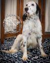English Setter Dog: Sarge
