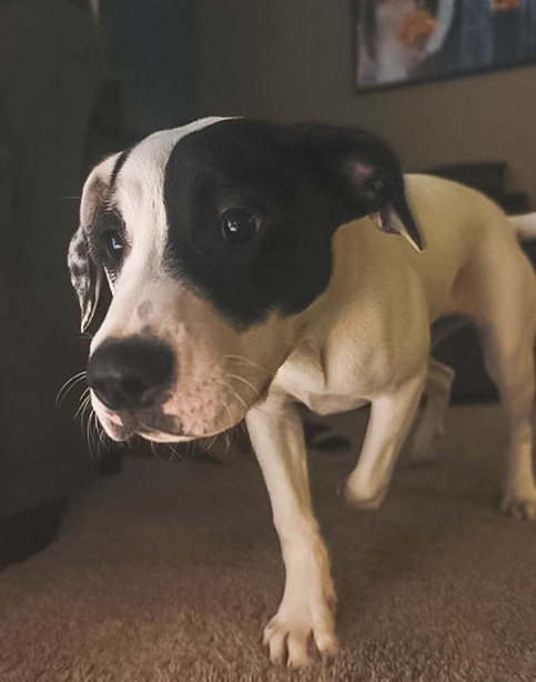 Zady, an adopted American Staffordshire Terrier & Pit Bull Terrier Mix in Saint Paul, MN