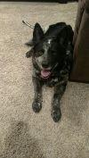 Australian Cattle Dog / Blue Heeler Dog: Mitzi
