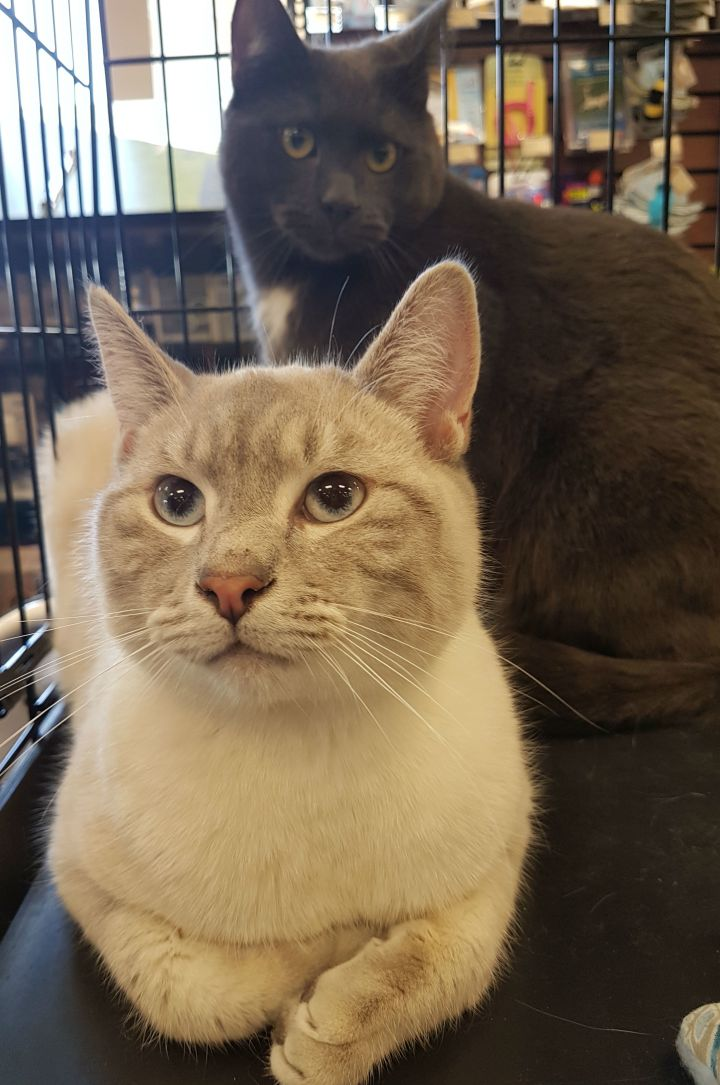 China and Cha-Ching, an adoptable Siamese & Domestic Short Hair Mix in Kenora, ON