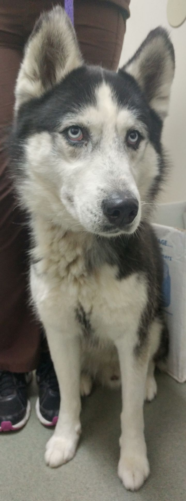 Shadow, an adopted Siberian Husky in Westminster, CA