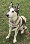 Siberian Husky Dog: Vixen
