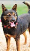 Keeshond Dog: MANNY