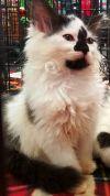 Domestic Long Hair Dog: Silouhette
