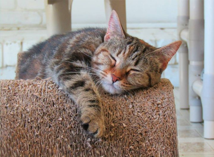 DeeDee, an adopted Domestic Short Hair Mix in North Royalton, OH