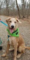 Chesapeake Bay Retriever Dog: XEROX