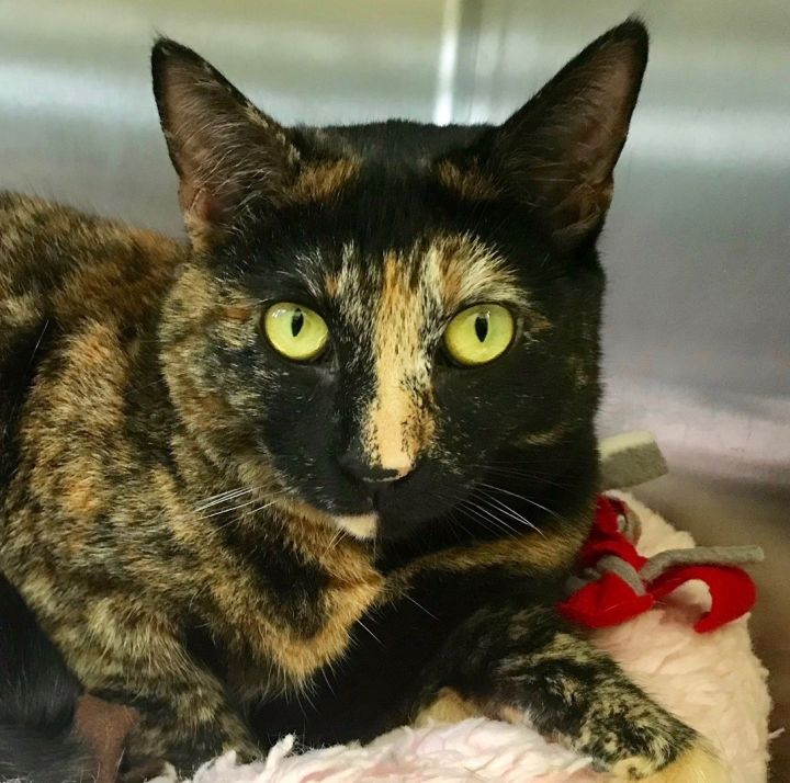 Xena, an adoptable Tortoiseshell in Beverly Hills, CA