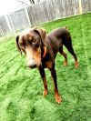 Doberman Pinscher Dog: Willow