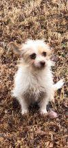 Norwich Terrier Dog: Josie