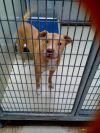 Pit Bull Terrier Dog: Lady Tahiti