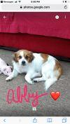 Cavalier King Charles Spaniel Dog: Abby
