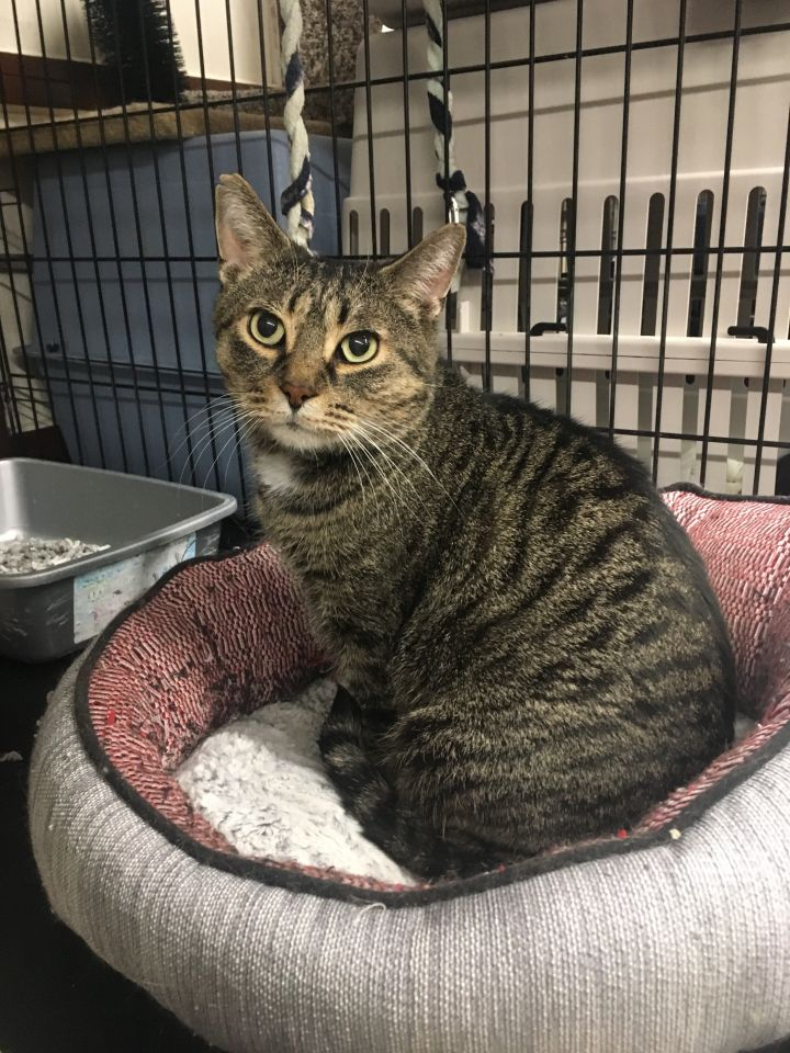 Herman, an adopted Domestic Short Hair & Tabby Mix in Kenora, ON
