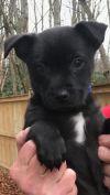 Chihuahua Dog: Baby Simon