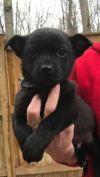 Chihuahua Dog: Baby Skipper