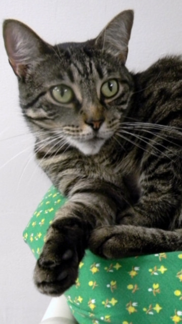 Sabrina, an adoptable Domestic Short Hair & Tabby Mix in Fernandina Beach, FL
