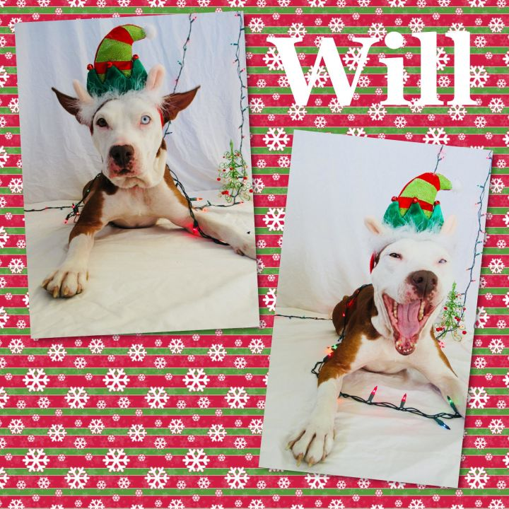 Will, an adoptable Pit Bull Terrier Mix in Loxahatchee, FL
