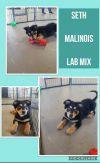 Belgian Shepherd / Malinois Dog: SETH