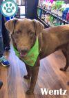 Chesapeake Bay Retriever Dog: Wentz