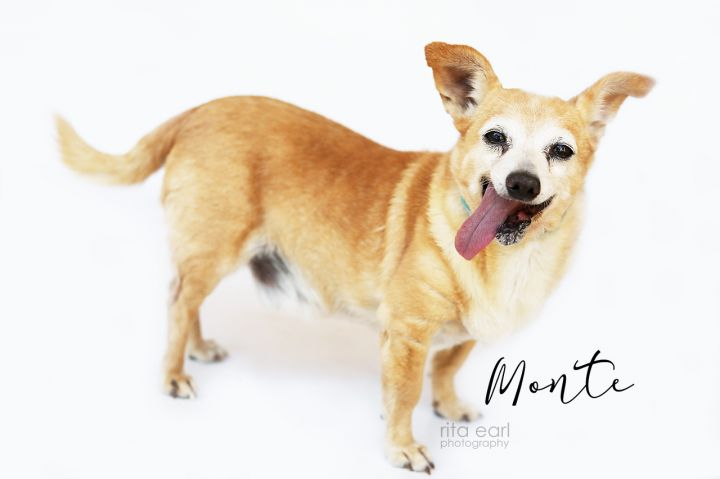Monte, an adoptable Chihuahua Mix in Agua Dulce, CA