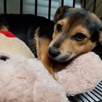 Billy, an adoptable Dachshund & German Shepherd Dog Mix in Newnan, GA
