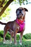Irish Wolfhound Dog: Amy (Sweet and Energetic)