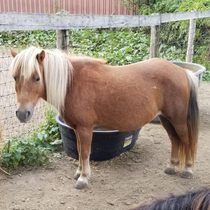 Pony for adoption - Checkers, a Shetland Pony in Woodstock
