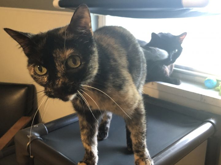 Bitty, an adoptable Tortoiseshell & Domestic Short Hair Mix in Lincoln, IL