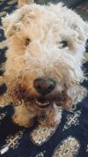 Lakeland Terrier Dog: Kat