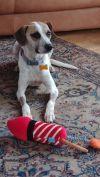 Foxhound Dog: Duke