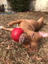 Pit Bull Terrier Dog: Goldie
