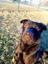 Labrador Retriever Dog: Pierson