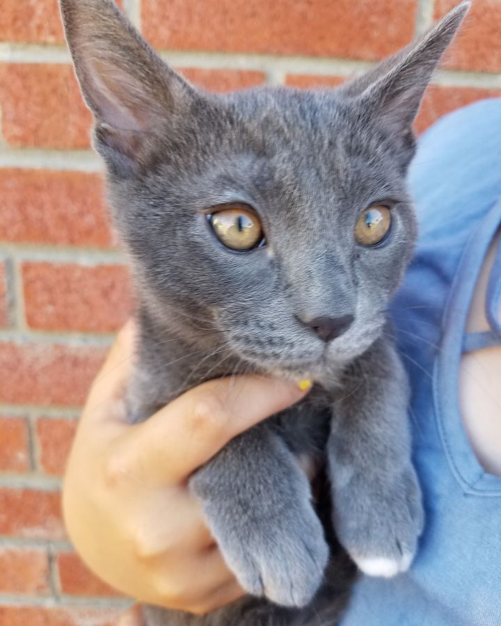 Oscar, an adopted Domestic Short Hair & Russian Blue Mix in Stanford, CA