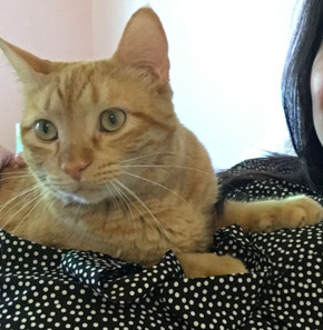 Orangey, an adopted Domestic Short Hair Mix in Stanford, CA