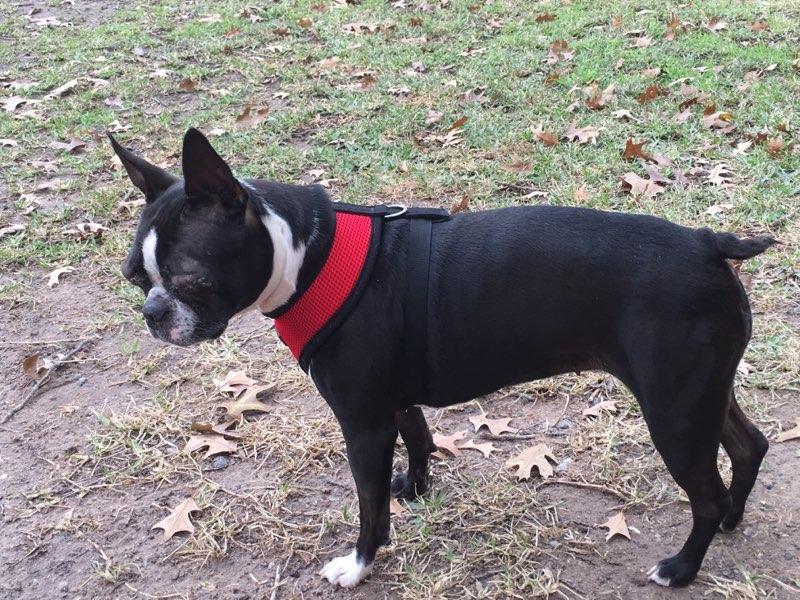 Adopt KERMIT-Pending Adoption! a Boston Terrier