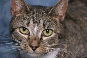 Serena Tabby Cat