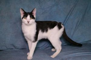 Oreo is an outgoing friendly and easy-going cat He has not been exposed to dogs but should be fin