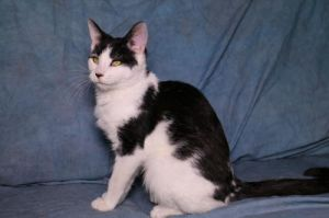 Oreo American Shorthair Cat