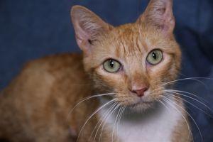 Kramden American Shorthair Cat