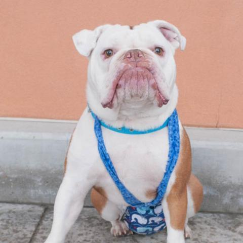 Brody, an adoptable English Bulldog in West Jordan, UT