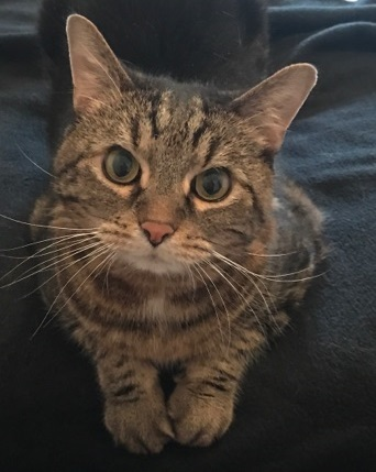 Ben, an adoptable Tabby & Domestic Short Hair Mix in Waverly, IA