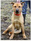 Labrador Retriever Dog: Scooby Doo