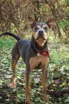 Rottweiler Dog: Odin