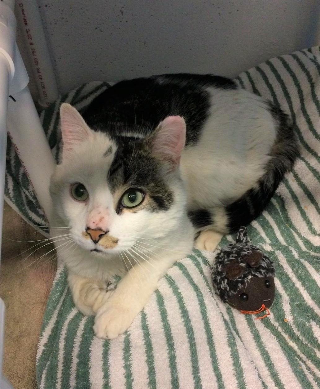 Cat for Adoption – Nori, near St. Albans, VT | Petfinder