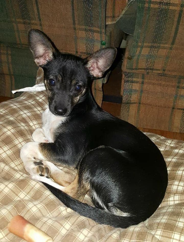 Dog for adoption - Lenny, a Terrier & Chihuahua Mix in