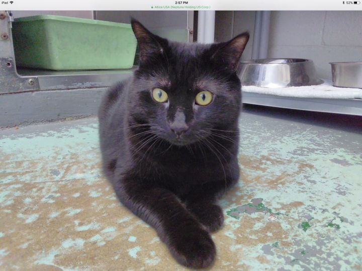 Simon, an adopted Domestic Short Hair in Mt. Vernon, NY