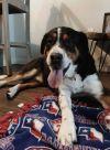 Greater Swiss Mountain Dog Dog: Matteus